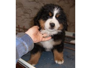 Bernese Mountain Dog Puppies In Minnesota