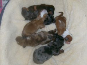 miniature dachshunds two male black tan eight weeks old dog breeds