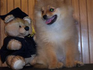 pomeranian puppies for sale in alabama pomeranian puppies in alabama 2677
