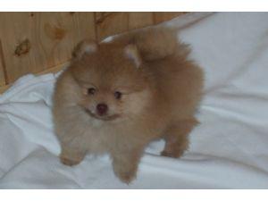 Pomeranian Puppies In Texas