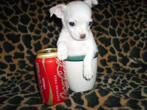 Chihuahua Puppies in Texas