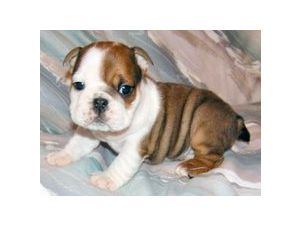 English Bulldog Puppies In Texas