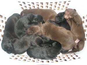 Labrador Retriever Puppies In Louisiana