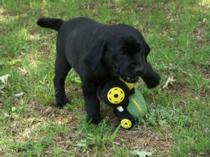 Labrador Retriever Puppies in Alabama