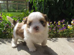 Shih Tzu Puppies In Indiana