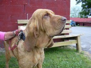 Bloodhound Puppies in Tennessee