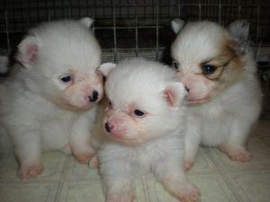 Pomeranian Puppies In Georgia