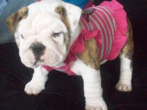 ENGLISH BULLDOG STUD SERVICE HOUSTON TEXAS ENGLISH BULLDOGS PUPPIES FOR SALE  HOUSTON TEXAS google English Bulldog Stud Service and English Bulldogs  puppies ...