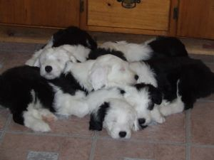 Old English Sheepdog Puppies in New Hampshire