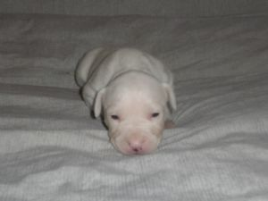 American Pit Bull Terrier Puppies In Michigan