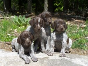 German Shorthaired Pointer Puppies In New York