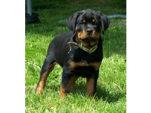 Rottweiler Puppies In Oregon