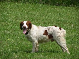 Hunting Dogs For Sale In Tallahassee Fl