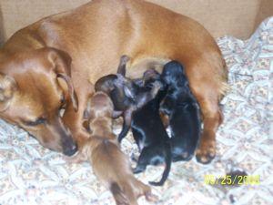 Dachshund Puppies in Alabama