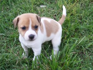 jack russell terrier puppies for free