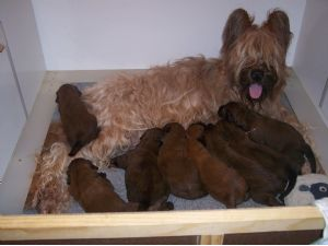 Briard Puppies In Texas