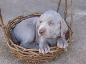 Weimaraner Puppies In North Carolina