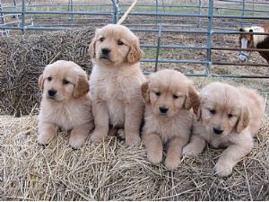 Golden retriever breeders near detroit