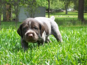 German Wirehaired Pointer Puppies In Wisconsin