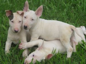 Bull Terrier Puppies in Florida