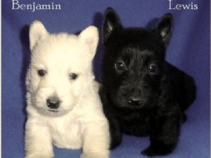 Scottish Terrier Puppies In Tennessee