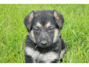 German shepherd puppies for free in kansas
