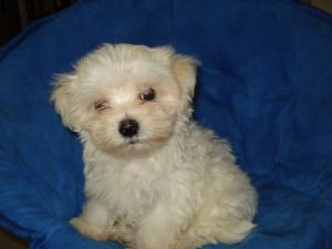 maltese puppies for sale in oklahoma maltese puppies in oklahoma 2879