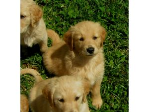 Golden retriever breeder bay area
