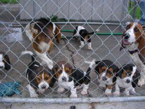 Basset Hound Puppies in Tennessee