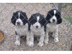 English Springer Spaniel Puppies in Michigan