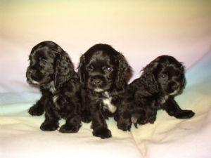 Black male Cocker Spaniel puppies for sale!!! 135.74 miles