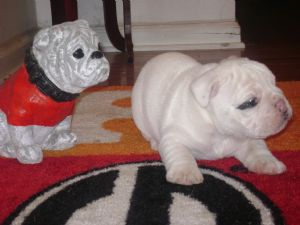 English Bulldog Puppies In Georgia