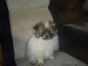 Teacup pomeranian puppies for sale in oregon