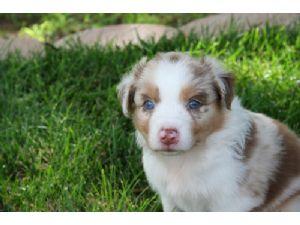 Australian Shepherd Puppies In Oklahoma