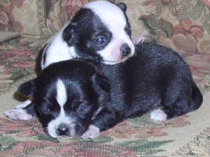 Chihuahua Puppies in Georgia