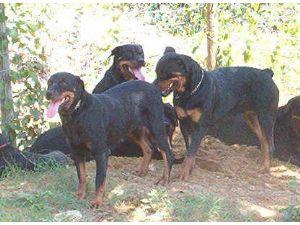 Rottweiler association south africa