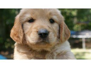 Golden Retriever Puppies In Alabama