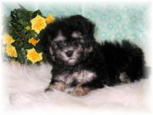 Maltese Puppies in Mississippi