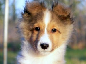 Shetland Sheepdog Puppies In Oklahoma