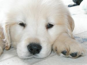 Golden Retriever Puppies In Massachusetts