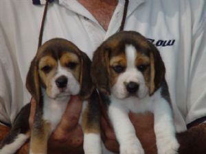 Beagle Puppies In North Carolina