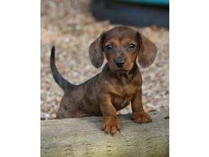Dachshund Puppies For Sale In San Antonio