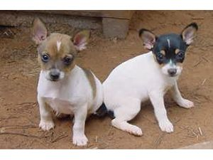 Rat Terrier Puppies For Sale