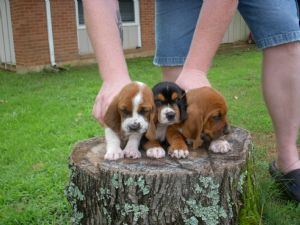 Basset Hound Puppies In Arkansas