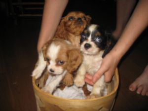 Cavalier King Charles Spaniel Puppies in Tennessee