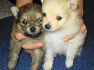 Pomeranian Puppies In Montana