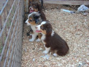 Miniature Australian Shepherd Puppies in California
