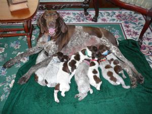 german shorthaired pointer puppies for sale in michigan german shorthaired pointer puppies in michigan 2524