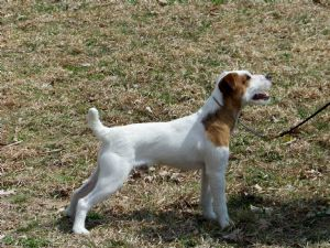 jack russell terrier mass jack russell terrier puppies in massachusetts 8215