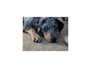 Young Female Dog For Sale In Washington State